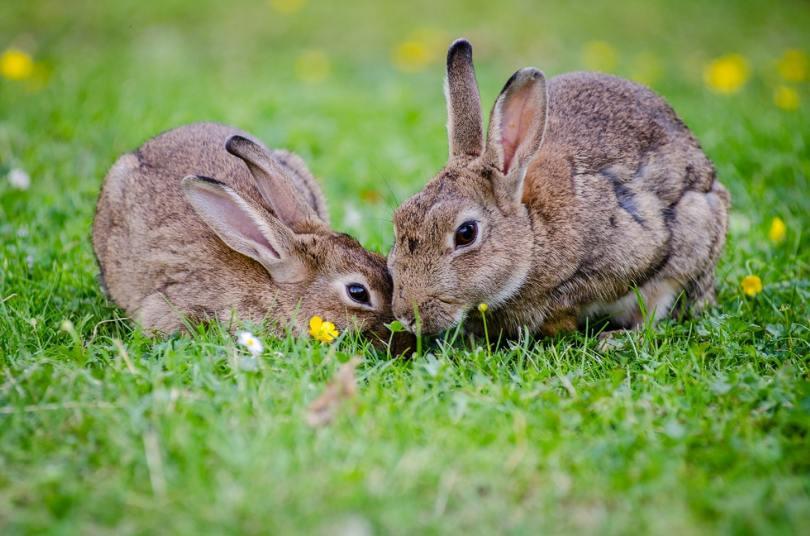 2-rabbits-eating-grass-at-daytime-33152.jpg