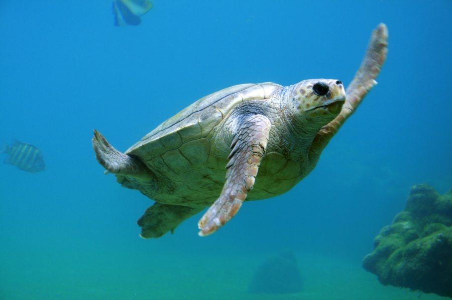 turtle-animal-diving-reptile-10467.jpg